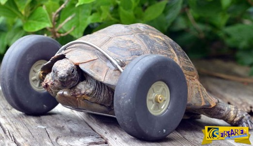 Η ανάπηρη χελώνα που περπάτησε ξανά!
