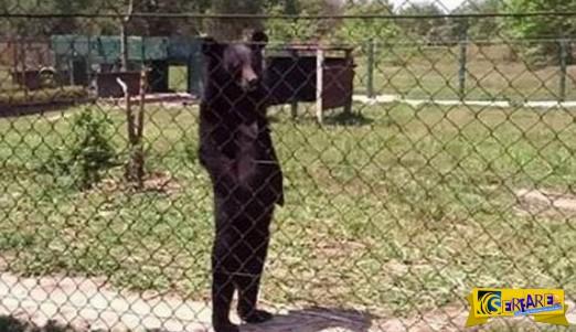 Η αρκούδα που περπατάει σαν άνθρωπος και έχει τρελάνει το διαδίκτυο!