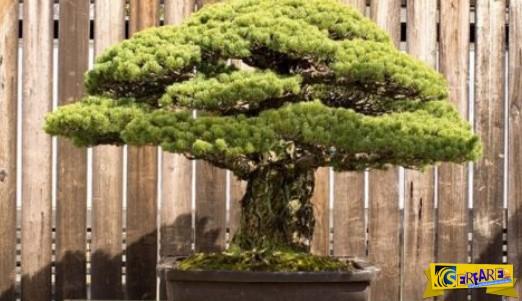 Το πιο ανθεκτικό φυτό! Αυτό το μπονσάι είναι 390 ετών και επιβίωσε από τη Χιροσίμα!