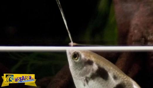 Το ψάρι που φτύνει με απίστευτη ακρίβεια!