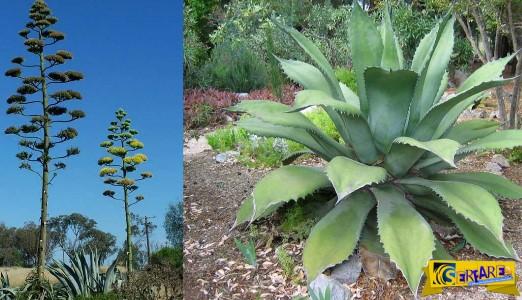 Αθάνατος: Το φυτό το που παράγεται η τεκίλα έχει κυριεύσει την Ελλάδα!