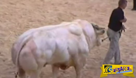 Belgian Blue η τερατώδης γενετικά τροποποιημένη αγελάδα!