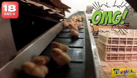 Ορνιθοτροφείο κολαστήριο εξοντώνει τα αρσενικά κοτόπουλα! (+18)