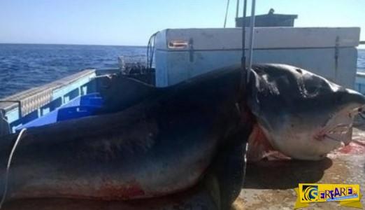 Τι έκανε ο άνθρωπος; Ψαράς σκότωσε καρχαρία - τίγρη εξίμισι μέτρων
