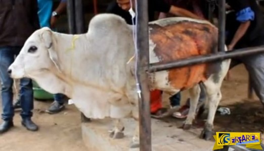 Άνοιξαν το στομάχι αυτού του άρρωστου ταύρου, αλλά αυτό που βρήκαν μέσα…
