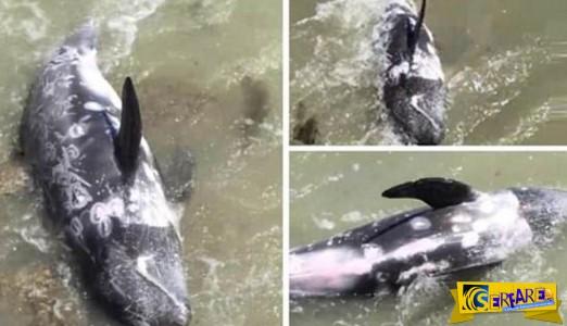 Απελπισμένο δελφίνι πέφτει στα βράχια για να γλυτώσει από τους διώκτες του