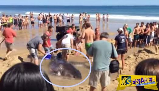 Διάσωση λευκού καρχαρία 900 κιλών από δεκάδες λουόμενους!
