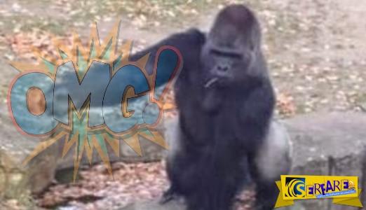 Εξαγριωμένος γορίλας άρχισε να πετροβολεί τους εκνευριστικούς θεατές στον ζωολογικό κήπο