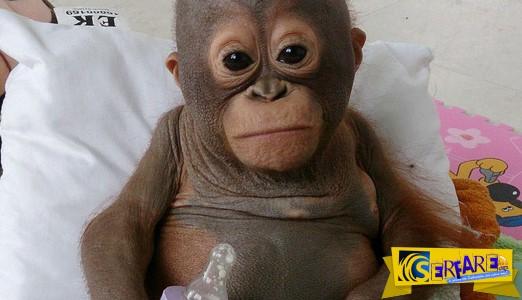 Η συγκινητική ιστορία ενός μωρού ουρακουτάγκου!