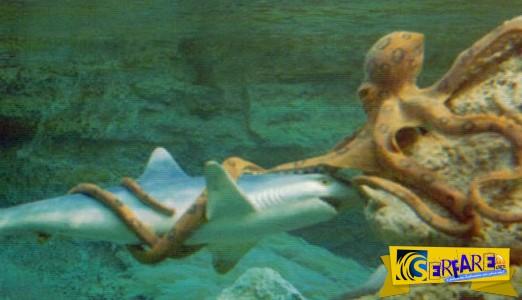 Η πιο επική μάχη ανάμεσα σε έναν καρχαρία και ένα τεράστιο χταπόδι!