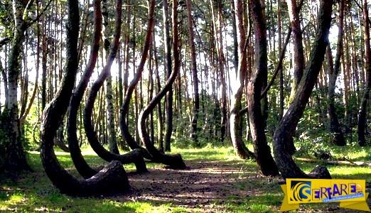 Το δάσος με τα 400 στραβά δέντρα! Ένα μυστήριο για τους επιστήμονες ...