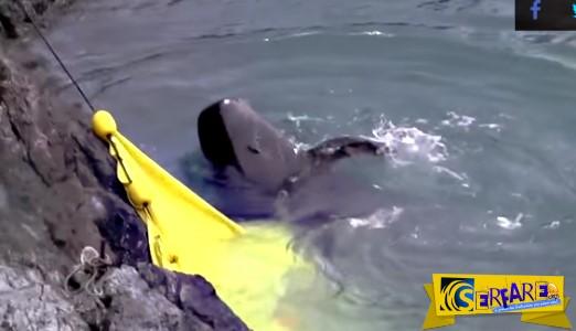 Συγκλονιστικό βίντεο: Φάλαινα προσπαθεί να αυτοκτονήσει για να γλιτώσει από τους κυνηγούς!