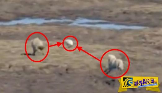 Ο λαγός που έκανε... χαζούς δυο λύκους! Εκπληκτικό video