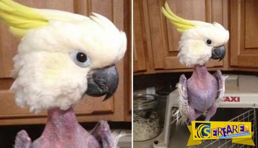 Απίστευτο: Παπαγάλος έχασε όλα του τα φτερά από το στρες