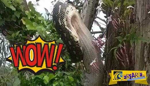 Πύθωνας καταβρόχθισε έναν ολόκληρο ζωντανό αλιγάτορα!