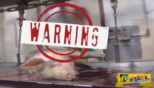 Φρικτό βίντεο από βασανιστήρια σε σφαγείο ζώων! - Σκληρές εικόνες! (+18)