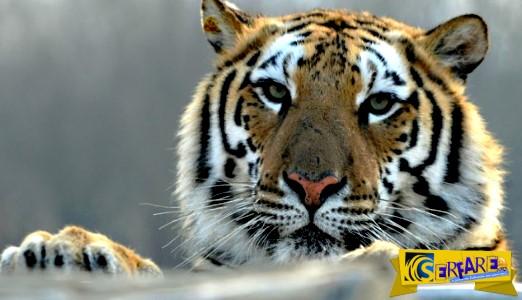 Απίστευτο! Πήδηξε στο κλουβί με τις τίγρεις!