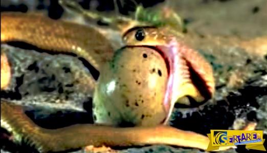 Δείτε πως τα φίδια καταπίνουν αυγά χωρίς να τα σπάσουν!