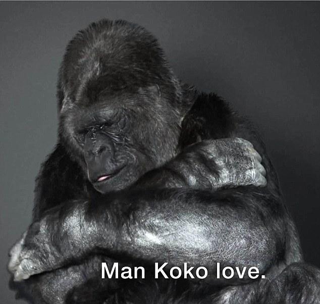 gorilas-koko-1
