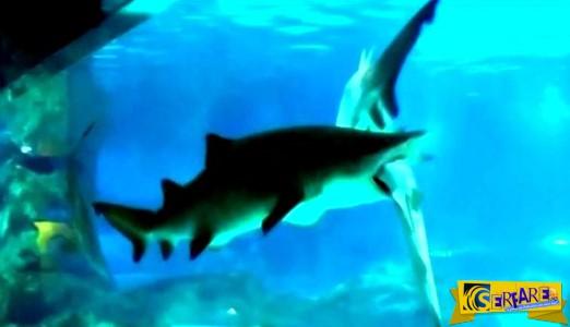 Η στιγμή όπου καρχαρίας τρώει άλλον καρχαρία μέσα σε ενυδρείο!