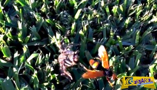 Η μάχη μέχρι θανάτου της γιγαντιαίας σφήκας με μια αράχνη!