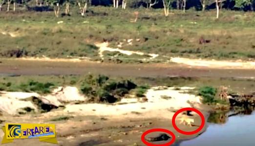 Ο σκύλος μπήκε στο ποτάμι αδιαφορώντας για τον κροκόδειλο - Δείτε τι συνέβη μετά!