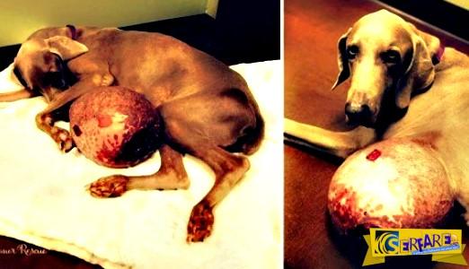 Όταν βρήκαν αυτόν το σκύλο, δεν πίστευαν αυτό που είδαν στην κοιλιά του. Σοκαρισμένοι, ξεκίνησαν την προσπάθεια να τον σώσουν.