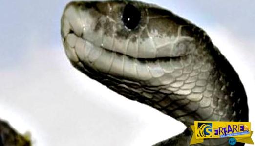 Τρομακτικό: Δείτε επίθεση από φίδι Bitis arietans ...