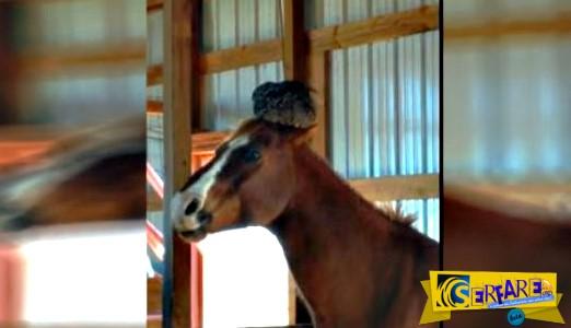 Ξεκαρδιστικό βίντεο: Κότα ήθελε να γεννήσει αυγά πάνω στο κεφάλι αλόγου!