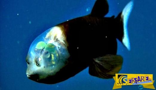 Το ψάρι με το διαφανές κεφάλι και τα μάτια-σφαίρες!