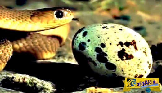Tί συμβαίνει όταν ένα φίδι βρει αυγά;