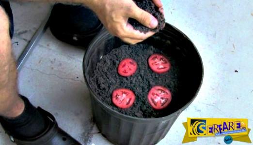 O ευκολότερος τρόπος για να καλλιεργήσεις ντομάτες σπίτι σου!