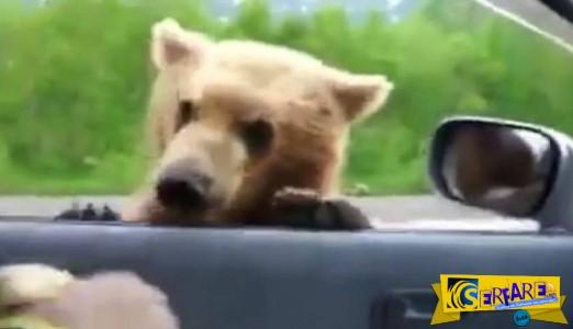 Αρκούδα σταματάει αυτοκίνητα για να της δώσουν... φαγητό!