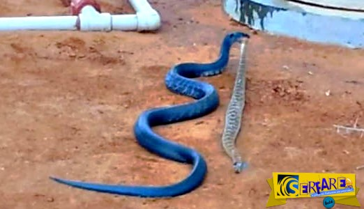 Μπλε φίδι καταβροχθίζει… κροταλία!