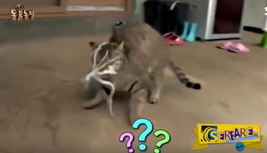 Δείτε τι συμβαίνει όταν μια γάτα προσπαθεί να φάει ένα ζωντανό χταπόδι!