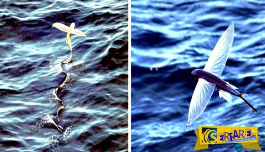 Εντυπωσιακό: Το κυνήγι των ιπτάμενων ψαριών ...