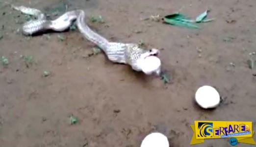 Αηδιαστικό θέαμα! Βασιλική κόμπρα «ξερνάει» έξι αυγά, όταν προσπάθησε να φάει το έβδομο!