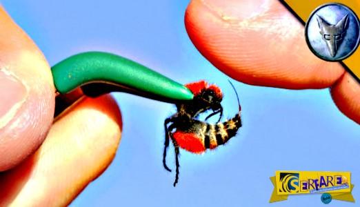 Αυτό το έντομο μπορεί να σκοτώσει μια αγελάδα - Ήθελε να τον τσιμπήσει για να δει τι θα πάθει ...