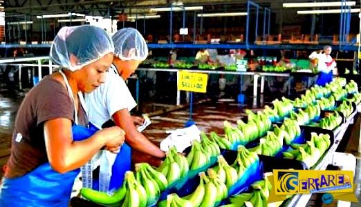 Δείτε πώς παράγονται οι μπανάνες!