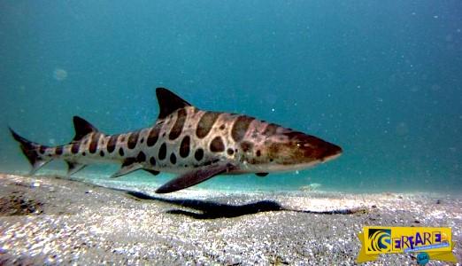 Καρχαρίας-λεοπάρδαλη γέννησε τρία μικρά χωρίς την συμμετοχή αρσενικού!