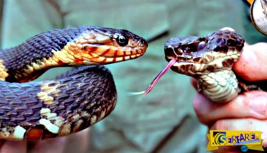Δείτε τις βασικές διαφορές ανάμεσα σε ένα δηλητηριώδες φίδι και ένα μη δηλητηριώδες!