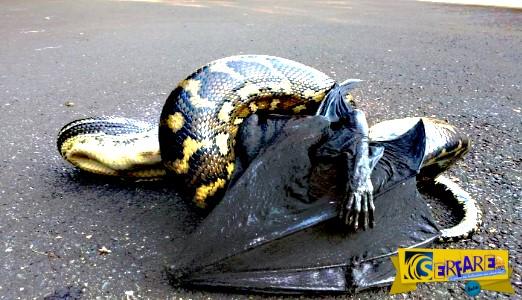 Η σκληρή μάχη μιας γιγαντιαίας νυχτερίδας με έναν πύθωνα!