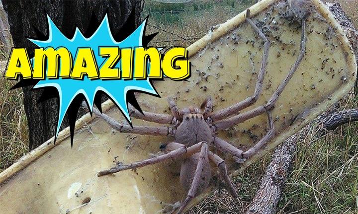 Οργάνωση έσωσε μια αράχνη που έχει το μέγεθος ενός μικρού σκύλου!